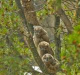 Free Photo - Great Horned Owls