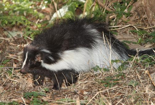 Hooded Skunk - Free Stock Photo
