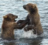 Free Photo - Kodiak Brown Bears