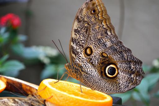 Owl Butterfly - Free Stock Photo