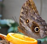 Free Photo - Owl Butterfly