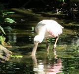 Free Photo - Roseate Spoonbill