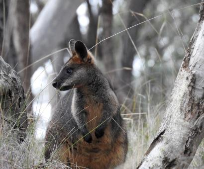 Swamp Wallaby - Free Stock Photo