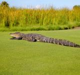 Free Photo - Alligator on Course