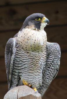 Coopers Hawk - Free Stock Photo