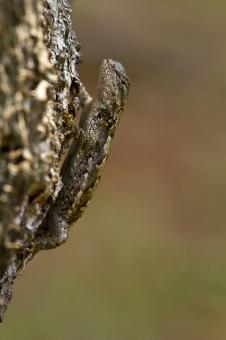 Eastern Fence Lizard - Free Stock Photo