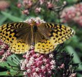 Free Photo - Spangled Fritillary
