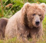 Free Photo - Kodiak Brown Bear
