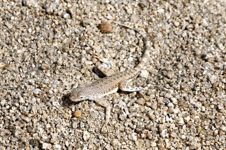 Free Stock Photo of Zebra Tailed Lizard Created by Pixabay