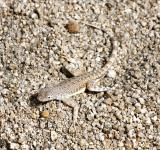 Free Photo - Zebra Tailed Lizard