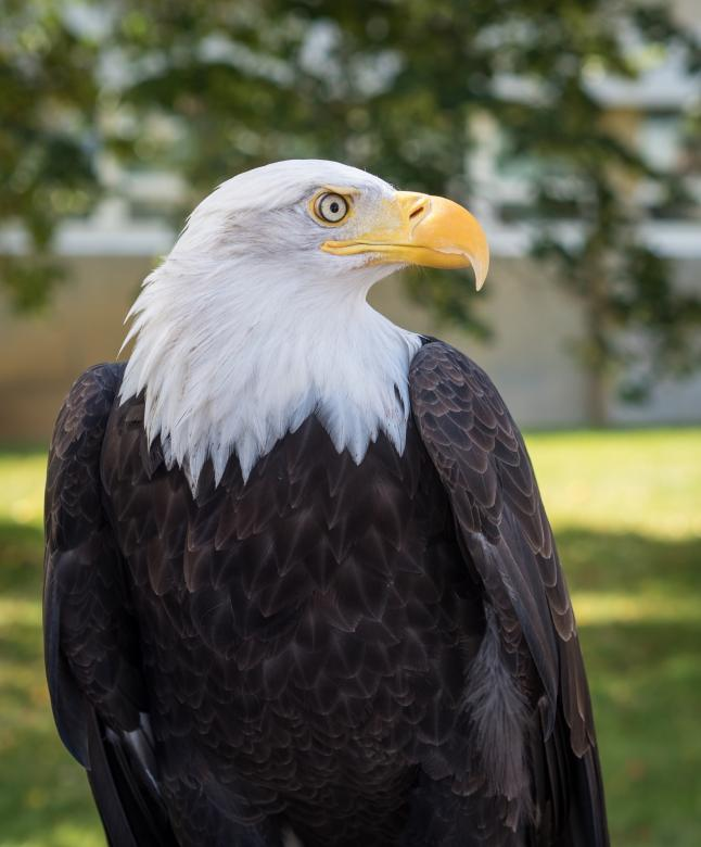 Free Stock Photo of Bald Eagle Created by Pixabay