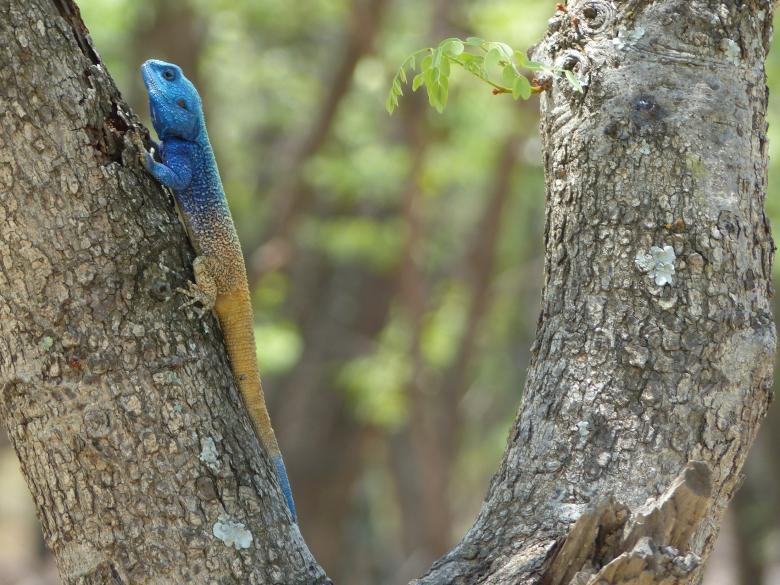 Free Stock Photo of Blue Crested Lizard Created by Pixabay