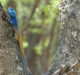 Free Photo - Blue Crested Lizard