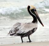 Free Photo - Brown Pelican