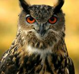 Free Photo - Eurasian Eagle Owl