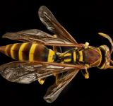 Free Photo - European Paper Wasp