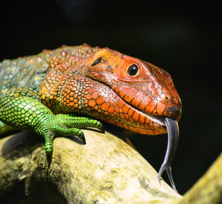 Free Stock Photo of Colorful Lizard Created by Pixabay