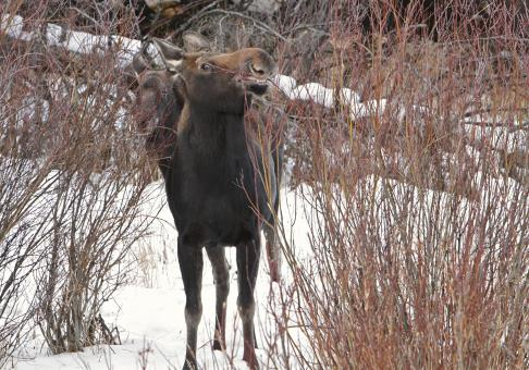 Moose in Winter - Free Stock Photo