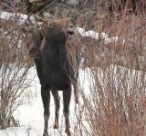 Free Photo - Moose in Winter