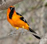 Free Photo - Altamira Oriole