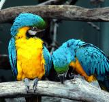 Free Photo - Blue and Yellow Macaws