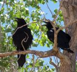 Free Photo - Common Ravens