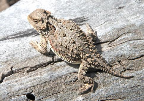 Horned Toad - Free Stock Photo