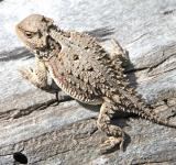 Free Photo - Horned Toad