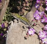 Free Photo - Italian Wall Lizard