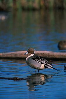 Northern Pintail Duck - Free Stock Photo