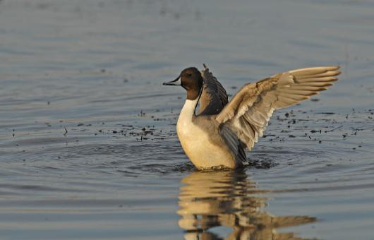 Pintail Duck - Free Stock Photo