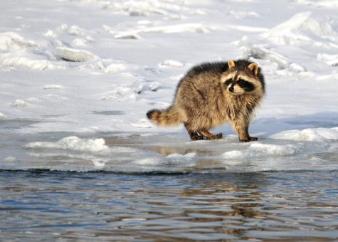 Wild Raccoon - Free Stock Photo
