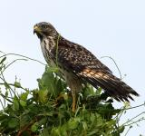 Free Photo - Red Shouldered Hawk
