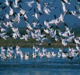 Free Photo - Snow Geese
