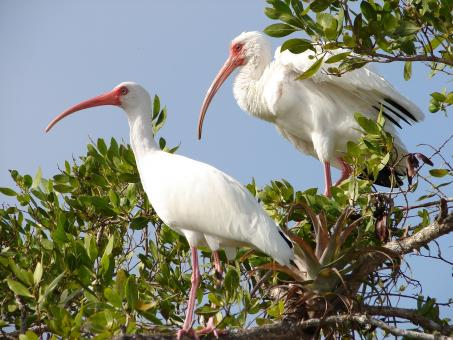 White Ibis - Free Stock Photo