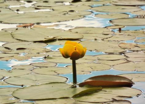 Yellow Pond Lily - Free Stock Photo