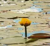 Free Photo - Yellow Pond Lily