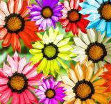 Free Photo - Gerbera Flowers