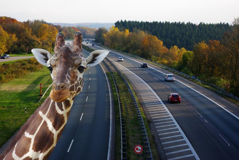 Free Stock Photo of Zebra on the Highway Created by Pixabay