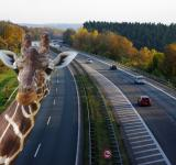Free Photo - Zebra on the Highway