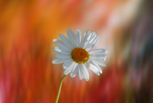 Marguerite in the Garden - Free Stock Photo
