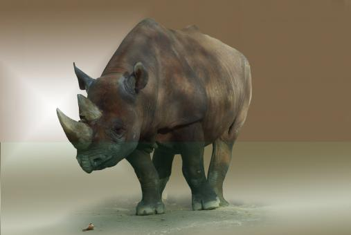 Wild Rhino - Free Stock Photo