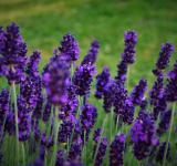 Free Photo - Lavender Flower