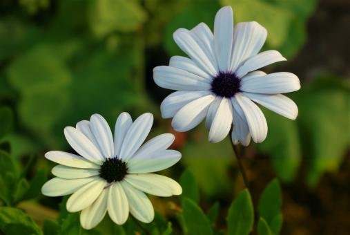 White Marguerite - Free Stock Photo