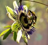 Free Photo - Passion Flower