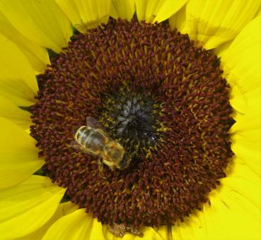Bee on the Sunflower - Free Stock Photo