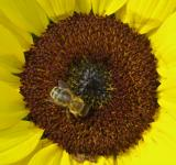 Free Photo - Bee on the Sunflower