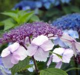 Free Photo - Fresh Hydrangeas