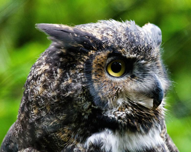 Free Stock Photo of Great Horned Owl Created by Geoffrey Whiteway