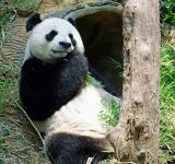 Free Photo - Panda in the Zoo